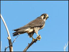 Peregrine Falcon (Ed Sivon) Tags: america canon nature lasvegas wildlife western wild southwest desert clarkcounty vegas flickr bird birdofprey henderson nevada
