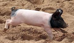 pig keulen 094A0762 (j.a.kok) Tags: animal mammal zoogdier dier pig piglet varken keulen