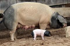 pig keulen 094A0788 (j.a.kok) Tags: animal mammal zoogdier dier pig piglet varken keulen