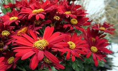 Vibrant Red Chrysanthemums (shelly.morgan50 (mostly off)) Tags: macroflowerlovers shellymorgan50 panasoniclumixdczs200 chrysanthemums red flowerphotography autumn colorful bright macro bokeh closeup details chrysanthemum mums nature usa midwest vibrant flower daisychrysanthemums daisy fall