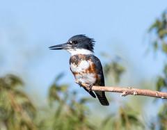 Kingfisher (Ed Sivon) Tags: america canon nature lasvegas wildlife western wild southwest desert clarkcounty vegas flickr bird henderson nevada