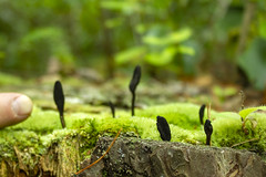 Xylaria polymorpha, Fentress County, Tennessee (Chuck Sutherland) Tags: xylariapolymorpha deadmansfingers saprobic fungus fentresscounty tennessee tn fungi ascomycota sordariomycetes xylariomycetidae xylariales xylariaceae xylaria xpolymorpha