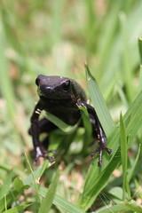 Adelphobates galactonotus (Steindachner, 1864) (alrcardoso) Tags: black morphs color polymorphism frogs anura dendrobatidae dendrobates galactonotus dendrobatesgalactonotus anuro venenoso endêmico brasil dendrobatid adelphobatesgalactonotus adelphobates dart dartfrog arrow sapo flecha poisondartfrog blackpoisondartfrog negro