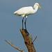 Great Egret - Ardea alba, Chincoteague National Wildlife Refuge, Chincoteague, Virginia