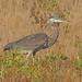 Great Blue Heron - Ardea herodias, Chincoteague National Wildlife Refuge, Chincoteague, Virginia