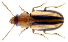 Stenolophus (Egadroma) plagifer namibicus Facchini, 2016 (urjsa) Tags: coleoptera käfer beetle insect carabidae stenolophus plagifer stenolophusplagifer namibia southafrica suedafrika taxonomy:binomial=stenolophusplagifer taxonomy:family=carabidae taxonomy:genus=stenolophus taxonomy:species=plagifer geo:country=namibia coleopteraus kaefer afrika africa insekt namibicus taxonomy:trinomial=stenolophusplagifernamibicus