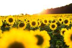 Sunflower Field (Theo Crazzolara) Tags: sunflower sun flower field agriculture nature natural scenic scenery landscape yellow organic beautiful summer autumn thanksgiving herbst erntedank sonnenblume sunset sunrise blossom garden