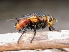 """The Winged Hedgehog "" A Tachina Fly (govindraj137) Tags: tachinafly tachinid insects insectmacro amazinginsects arthropods bugsmacro macro macrophotography nature naturephotography beautifulnature naturesbeauty nikon nikondigital nikoncoolpix nikonp600"