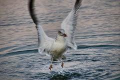 Dinner (Tan Ja!) Tags: seagull meer ostsee balticseasea möwe