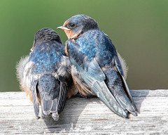 He Ain't Heavy, He's My Brother (edmason88) Tags: barnswallowfledglings babies lookafter wetlands strathconacounty alberta canada