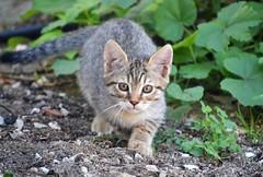 Sardinian kitten - Gatito sardo (En memoria de Zarpazos, mi valiente y mimoso tigre) Tags: kitten gattino gatito cat gato chat tabby giardino garden nikon cerdeña sardegna sardinia