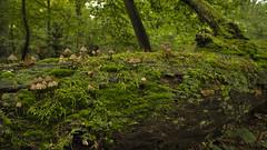 Wald-Leben (KaAuenwasser) Tags: pilze pilz moos moose flechten leben bewachsen baum baumstamm umgefallen natur wald bäume grün