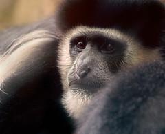 Warm Face (Robert Streithorst) Tags: zoosofnorthamerica ape browneyes cincinnatizoo robertstreithorst face flatnose fur