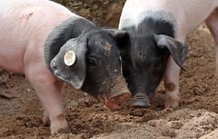 pig keulen 094A0801 (j.a.kok) Tags: animal mammal zoogdier dier pig piglet varken keulen
