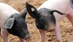 pig keulen 094A0796 (j.a.kok) Tags: animal mammal zoogdier dier pig piglet varken keulen