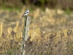 PA170745_1 (turbok) Tags: würgerlaniidae vögel wildtiere raubwürgerlaniusexcubitor