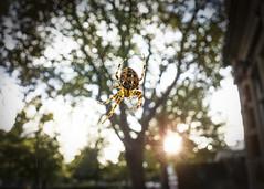 Sunlit Spider (London Less Travelled) Tags: uk unitedkingdom britain england london spider sun bermondsey