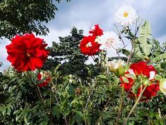 Jardín. (kanica710) Tags: jardin flores rosas colores nature naturaleza flowers rojo blanco