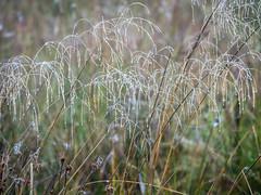 More raindrops.Try large. (dave p brecks) Tags: grass raindrops panasonicdmcg80 olympus75300