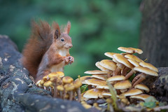 Mushrooms 🍄 (Joachim Dobler) Tags: eichhörnchen eichhoernchen squirrel écureuil ardilla scoiattolo equito nature natur nagetier wildlife animal cute naturephotography squirrellove wildlifephotography bestsquirrel nutsaboutsquirrels cuteanimals mushroom fall autumn sniff ngc