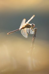 (Eugenio Albertus) Tags: libélula dragonfly nature libellule wildlife canon6d bokeh