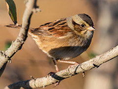 Swamp Sparrow (tresed47) Tags: 2019 201910oct 20191015bombayhooknwr birds bombayhook canon7dmkii content delaware fall folder october peterscamera petersphotos places season sparrow swampsparrow takenby us winter