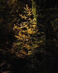 Color in the forest (ramvogel) Tags: sony a6300 sony18105mm fall autumn tree forest woodland color zürich switzerland schweiz wald