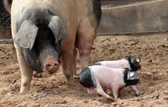 pig keulen 094A0804 (j.a.kok) Tags: animal mammal zoogdier dier pig piglet varken keulen