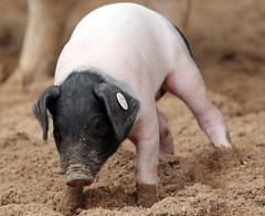 pig keulen 094A0783 (j.a.kok) Tags: animal mammal zoogdier dier pig piglet varken keulen