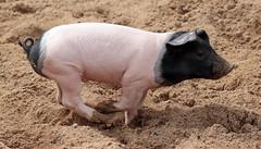 pig keulen 094A0760 (j.a.kok) Tags: animal mammal zoogdier dier pig piglet varken keulen