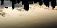 Water Skyline (CoolMcFlash) Tags: swan water reflection skyline cityscape vienna silhouette schwan wasser danube donau spiegelung gebäude building kontur wien fotografie photography samsung smg950f galaxy s8 smartphone