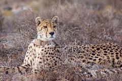 Look out (vapour trail) Tags: south africa country continent sanbona wildlife reserve safari montagu animal wild desert semi cheetah feline spots coat fur face teeth