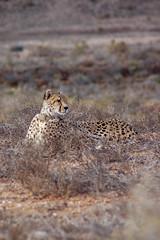 Just chillin' (vapour trail) Tags: south africa country continent sanbona wildlife reserve safari montagu animal wild desert semi cheetah feline spots coat fur face teeth