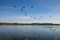(Seattle Parks & Recreation) Tags: marshisland wetland lakewashington ducks lakewashingtonducks marshlands