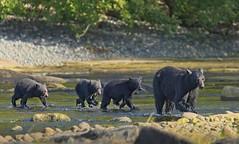 20190827Z7_5137 (cisco42) Tags: blackbear ursusamericanus mammal predator bc canada britishcolumbia creek cubs young spawning