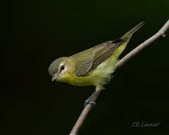 Philadelphia Vireo (CR Courson) Tags: vireonidae vireos birds birdphotography naturephotography nature crcourson chuckcourson vireo philadelphiavireo vireophiladelphicus