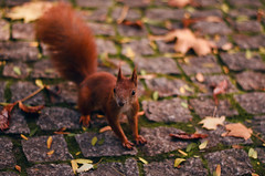 Curious squirrel (AM Capturing) Tags: squirrel park animals animal fall autumn nikon colors ginger forest leaves leaf