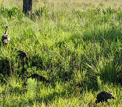 Wild turkeys (MyFWCmedia) Tags: habitatandspeciesconservation nature outdoors wildlife floridafishandwildlifeconservationcommission fwc florida publiclands threelakeswildlifemanagementarea osceolacounty bird wildturkey wildlifemanagementarea wma usa