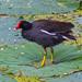 Common Gallinule on Lotus Pad