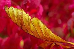 Ark (L@nce (ランス)) Tags: leaves leaf micro nikkor nikon macro canada victoria