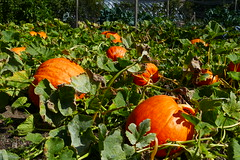Photo of Pumpkins!
