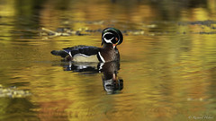 Canard Branchu Male / Wood Duck (richard.hebert68) Tags: sony a7riv automne arbres paysagequébec 200600mm canard branchu