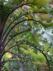 Altmärker Braunkohl (haraldwalker) Tags: vegetable brassicaoleracea purple leaf healthy red german growingfood food heirloom ingredient braunkohl kale vegetablegarden garden plant organic traditional growth altmärkerbraunkohl outdoors