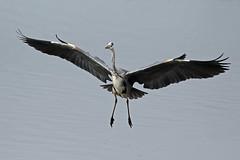 grey heron (DODO 1959) Tags: wildlife greyheron nature fauna birds heron avian animal outdoor flight canon 100400mmmk2 7dmk2 carmarthenshire wales llanelli wwt michaelpowellhide