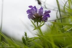 L1007188 (ChristianLeduc) Tags: 2019 64 bearn eté fleurs france nouvelleaquitaine pyrénées pyrénéesatlantiques plateaudubénou