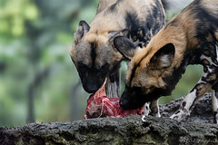 Tear Up The Loot (Alfred Grupstra) Tags: animal dog mammal nature wildlife outdoors carnivore looking canine brown pets animalsinthewild closeup blackcolor loot flesh
