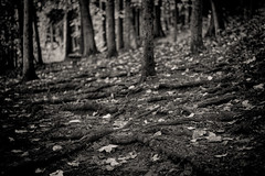 Rooty Path (David Guidas) Tags: wooded woods trees path roots pines nature monochrome blackandwhite leica summicron 50mm m9 leaves autumn