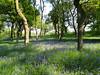 Bluebells in Seabegs Wood