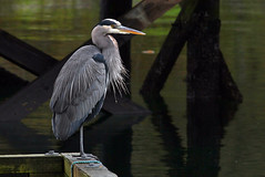 The Watcher (Chris Milligan Photo) Tags: heron great blue bird birdwatching birding fishing waiting canada canadian bc british columbia vancouver quadra island wild wildlife nature natural animal ubhejane chris milligan chrismilliganphoto