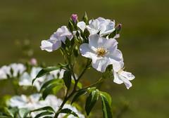 Flowers (ost_jean) Tags: nature flowers ostjean nikon d5300 tamron sp 90mm f28 di vc usd macro 11 f004n fleurs